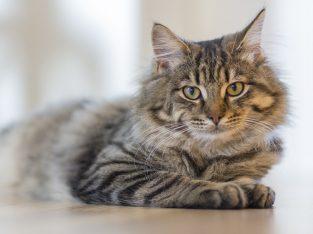 Scot Fold Cat