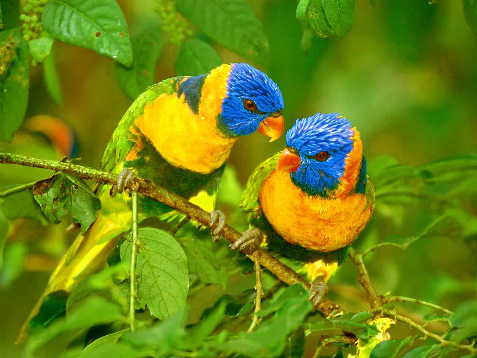 Caique Parrot
