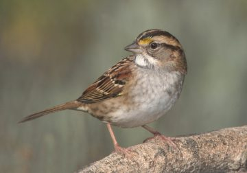 Sparrow Hawak