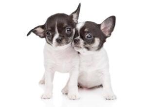Apple head Chihuahuas