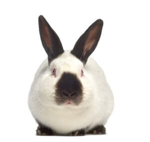 California-White-Rabbit