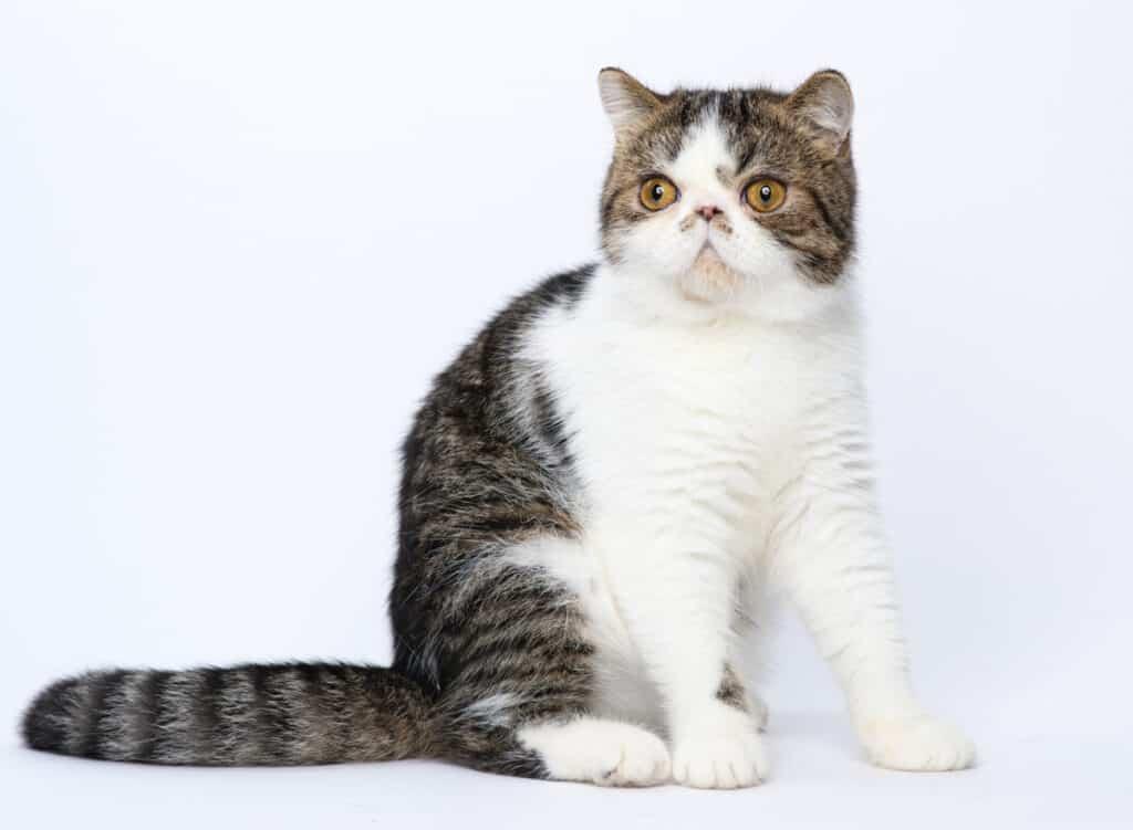Exotic Short Hair Cat