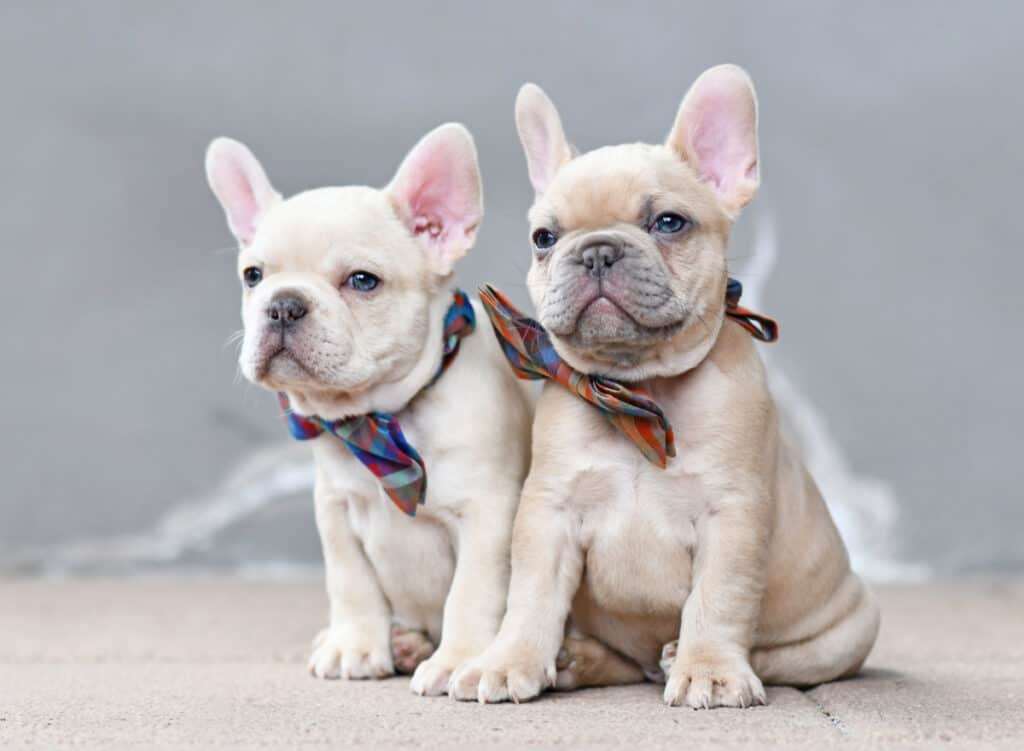 French Bulldogs for Sale