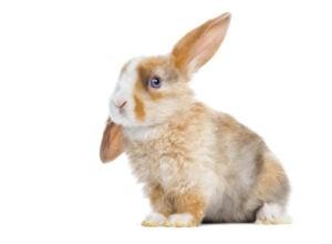 Mini-Satin-Rabbit