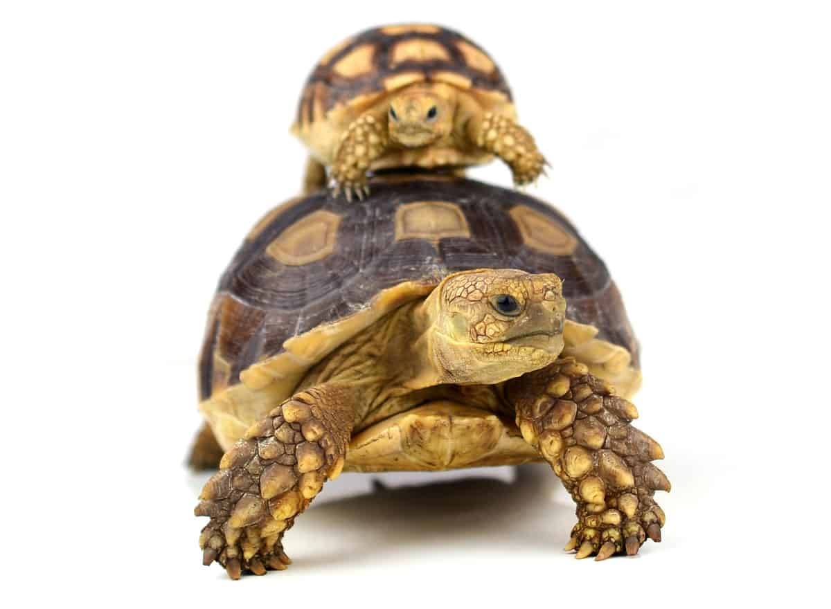 Turtles For Sale Latest Pet Ads Buy Sell Adopt Petclassifieds Com