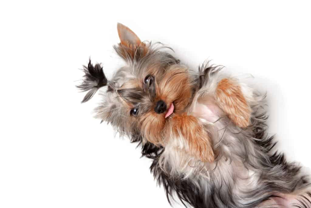 Playful-Yorkshire-Terrier-for-Sale