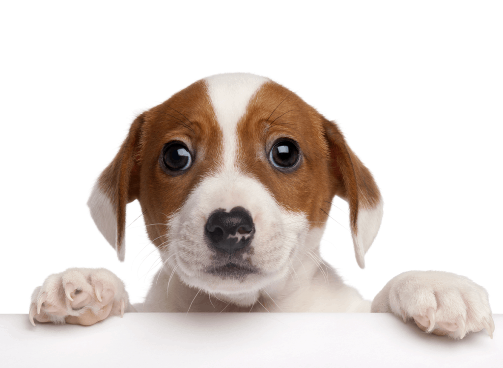 Sell Dog or Sell Puppies online