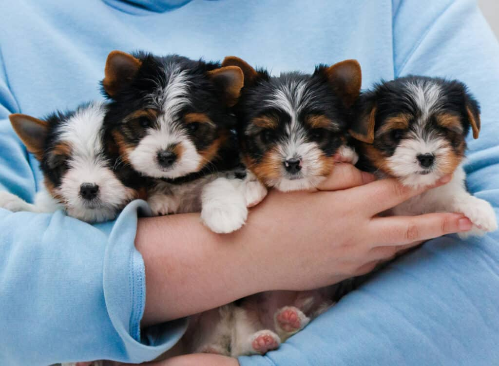 Yorkie-Puppies-for-Sale