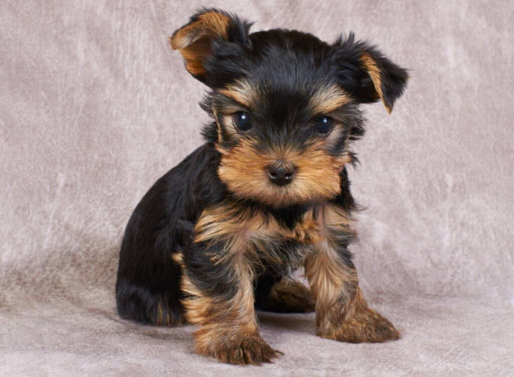 Yorkie-for-Sale