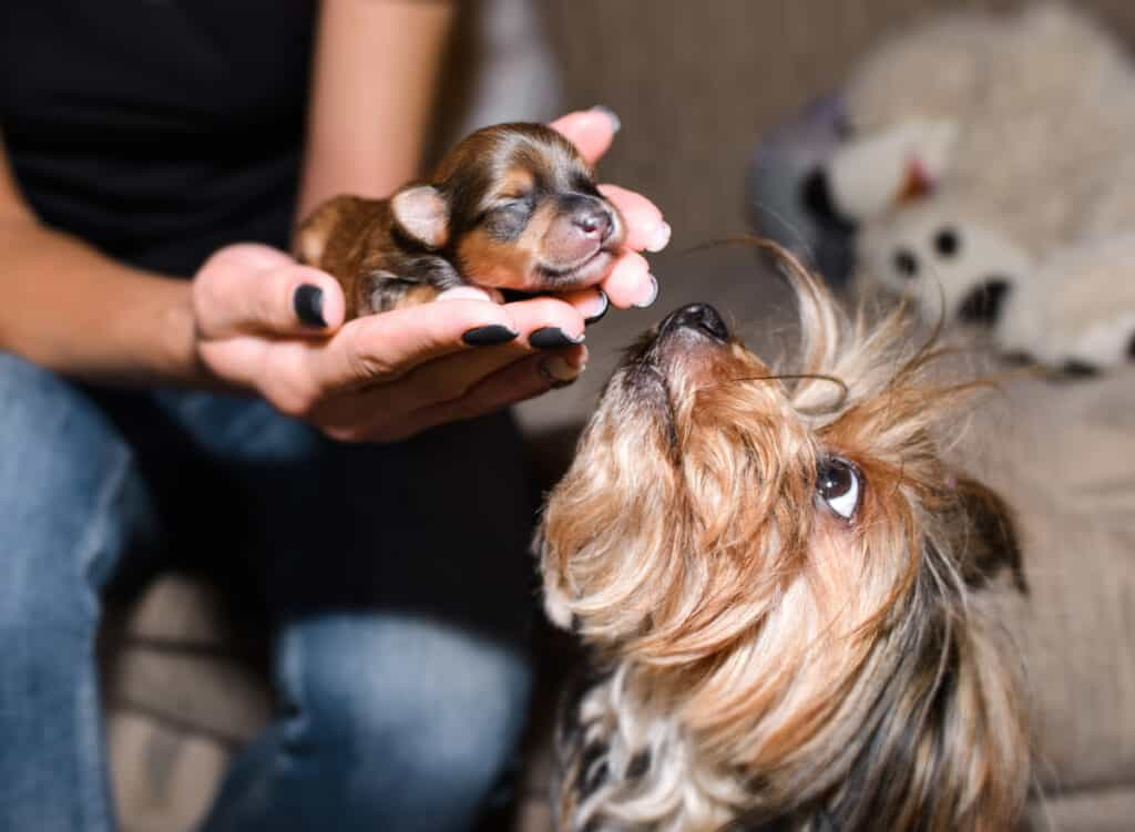 Yorkie puppy and mother dog