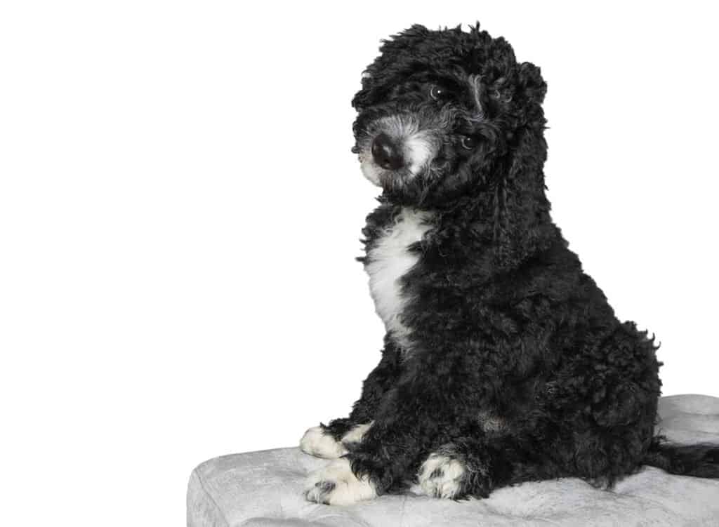 Black and white bernedoodle for sale