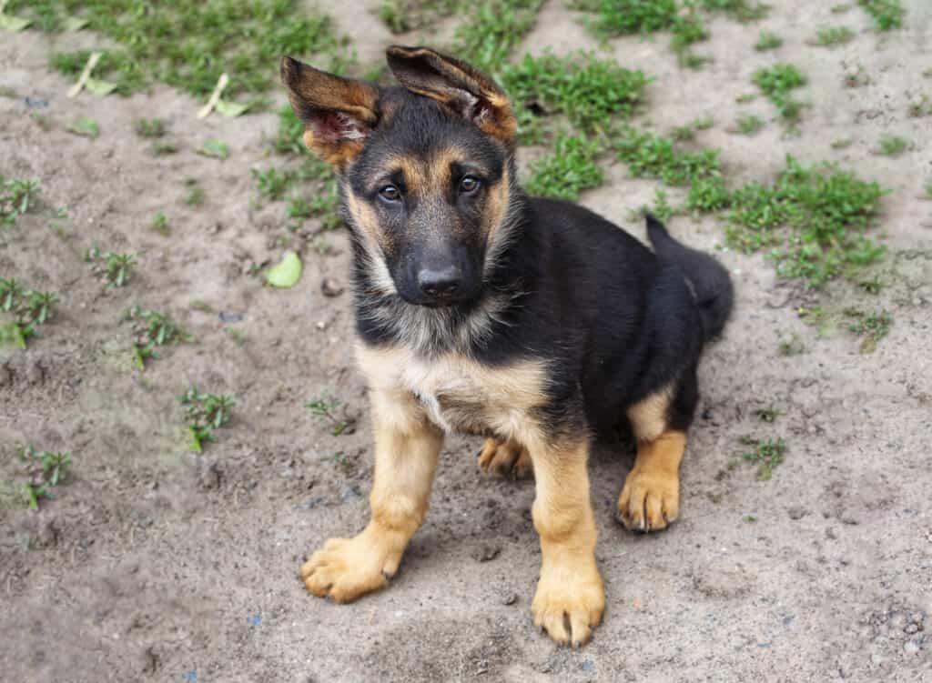 German Shepherd puppy for sale
