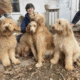 F2b Goldendoodles Available April 8th