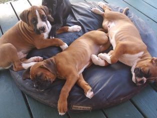 Boxer puppies, Colorado Springs
