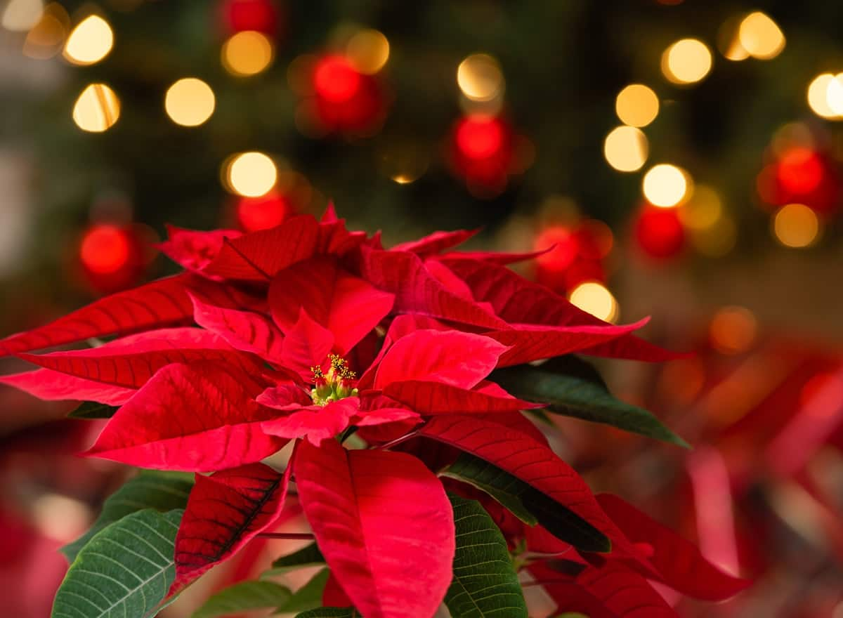 Christmas-Star-flower-dangerous-for-pets