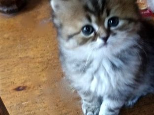 Lovable Tabby Persian CFA Registered Kitten