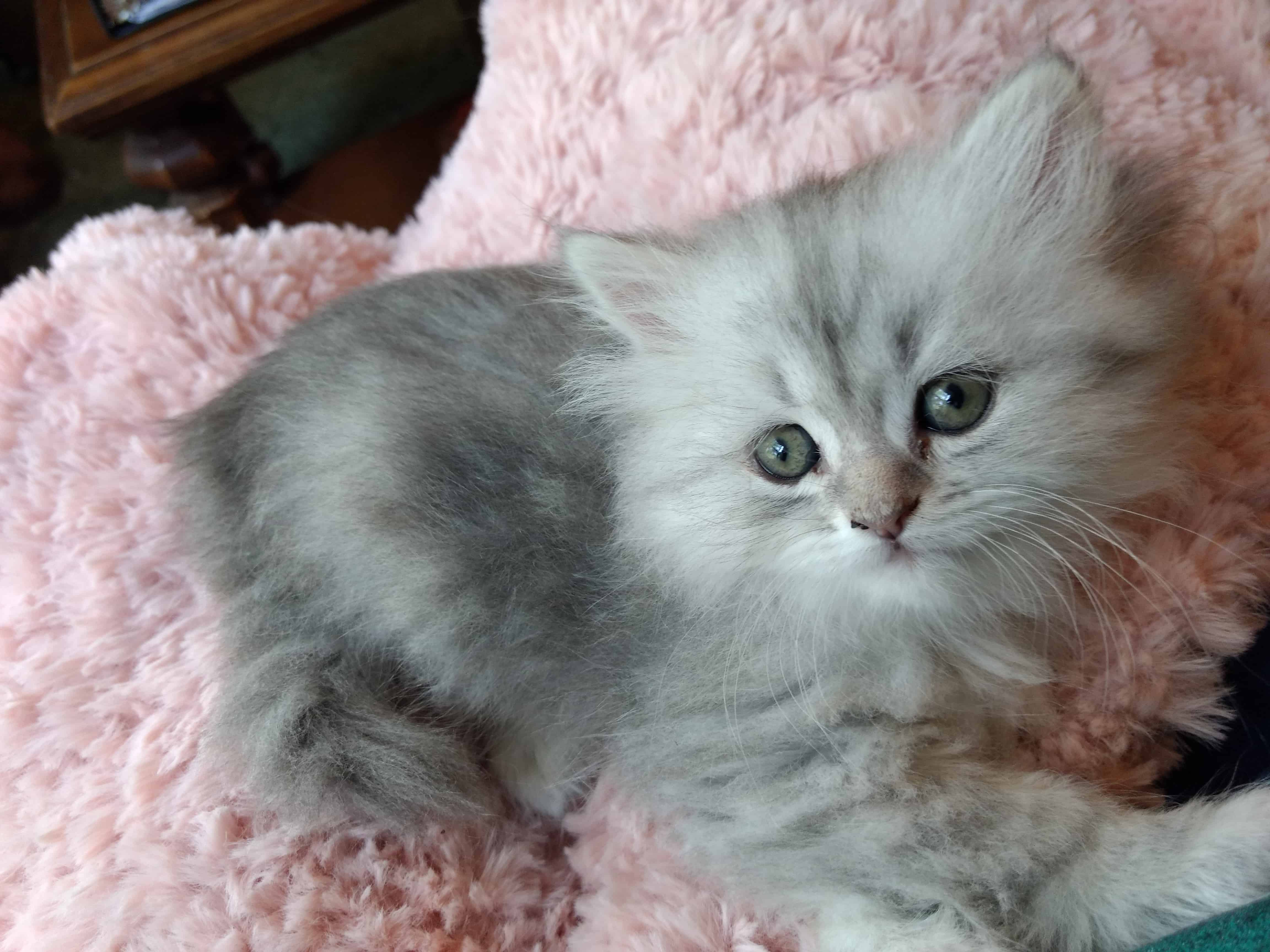 Adorable Blue Silver Tabby Persian Registered