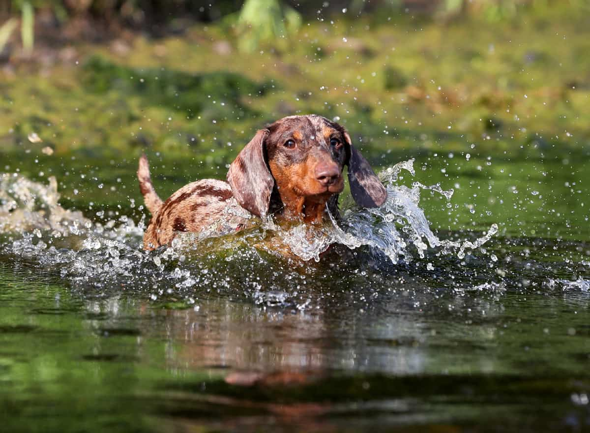 dachshund-puppy-dog-swim-in-the-river-water-poisoning
