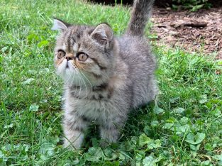 Short hair exotic Persian brown tabby female kitte