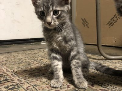 Adorable Gray Tabby Kittens For Sale