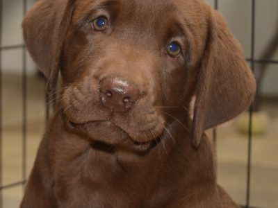 Lab puppies, AKC, chocolate