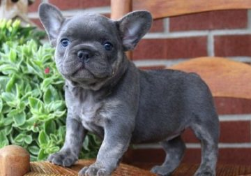 AKC French Bulldog – Gucci – Female