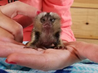 Capuchin, marmoset, squirrel, tamarin monkeys for
