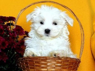 Registered Male Maltese Puppy