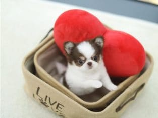 LIl – SUPER TINY!!! MICRO!!! Chihuahua Pup