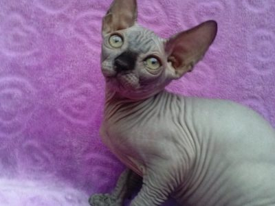 Sphynx Only 1 Boy Left **ready Now**