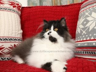 Black & White Persian Kitten Available