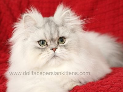 Beautiful Chinchilla Silver Persian Kitten for Sal
