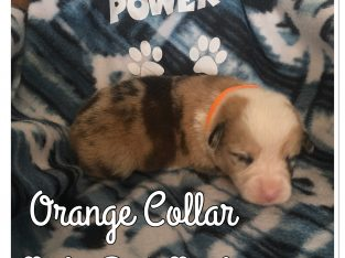 Ckc Pembroke Welsh corgi puppies