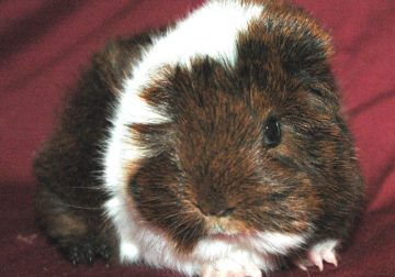 Beautiful Pedigreed Peruvian Guinea Pig