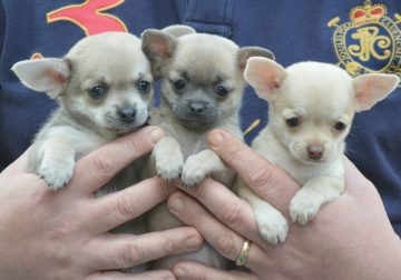 Chihuahua puppies avalaible