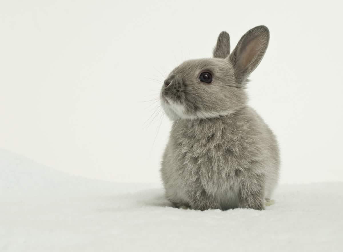 Cuddly Dwarf Rabbit