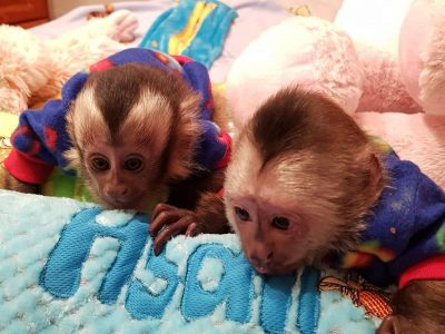 Capuchin, marmoset, squirrel, tamarin monkeys
