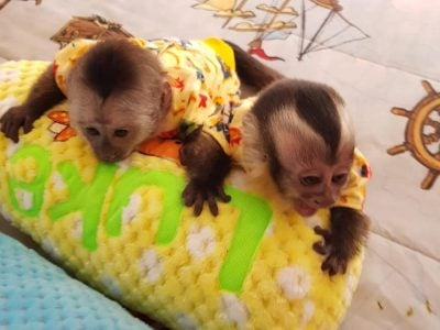 Home raised capuchin monkeys up for adoption