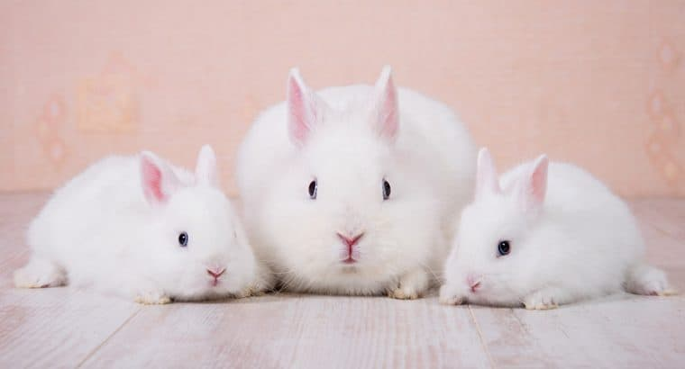 Dwarf Rabbits as pets: Everything you needed to know!