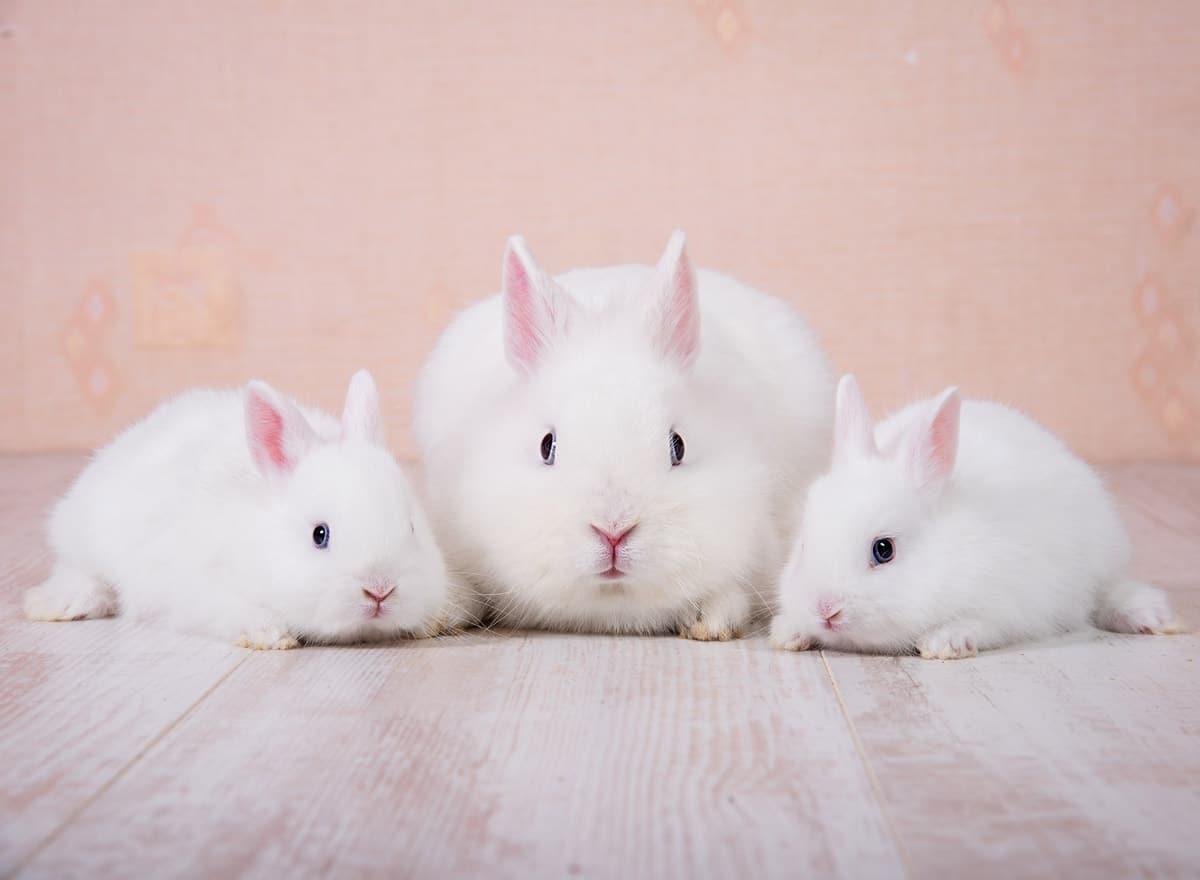 Three White Dwarf rabbits