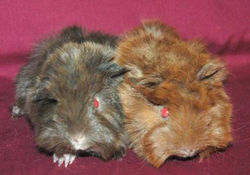 Beautiful Pedigreed Peruvian Guinea Pigs