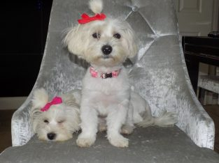 KC Champion Maltese Puppies available for adoption