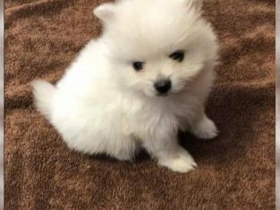 Beautiful White AKC Pomeranian Male Puppy