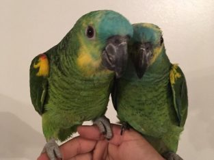 Blue Fronted Amazon Parrots For Rehoming
