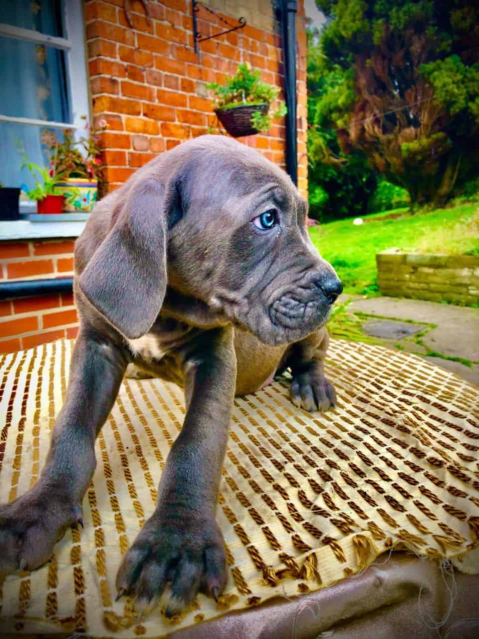 Cane Corso Puppies for sale..