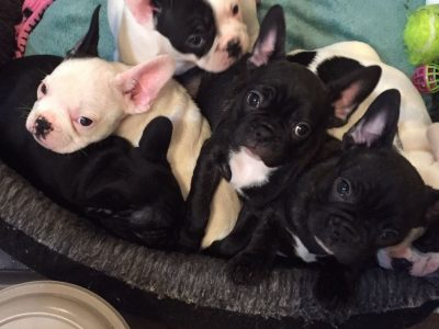 Super adorable French Bulldog puppies/Call/Text me