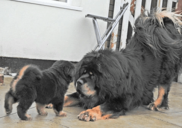 Lionhead Tibetan Mastiff Puppies for sale.