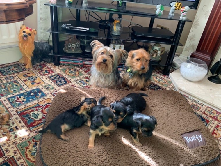 Kc Registered Yorkshire Terrier Puppies available