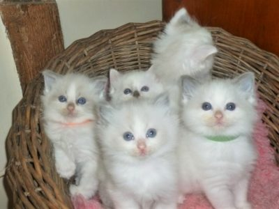 Ragdoll kittens boys and girls, ready to leave