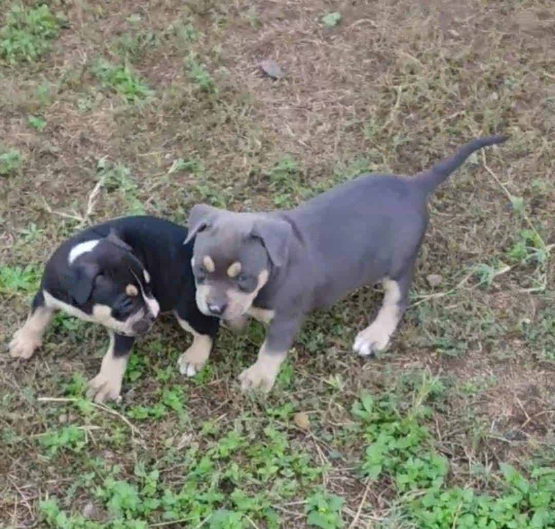 Tri-Color American Bully Pitbull Puppies